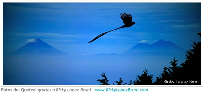 quetzal in flightQuetzal In Flight